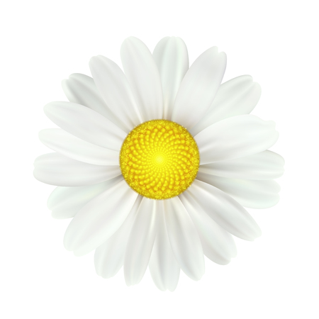 Spring daisy flowers isolated on white background. Vector illustration