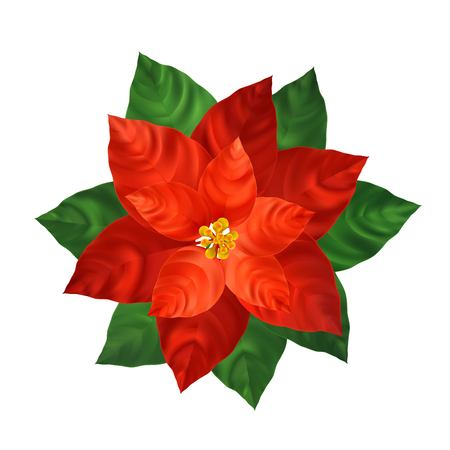 Red poinsettia flower realistic illustration. Christmas decoration and ornamental plant. Red poinsettia with green leaves. Christmas flower. Postcard,poster floral design element. Isolated vector