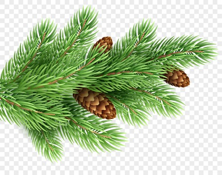 Fir tree branch realistic Christmas illustration. Spruce color twig with pinecones on transparent background. Fir-tree with pine cones. New Year greeting card, banner design element. Isolated vector Illustration