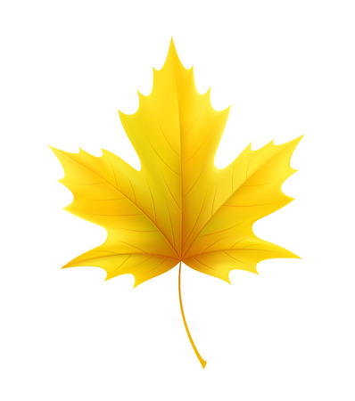 Autumn yellow maple leaf leaves. Vector illustration Çizim