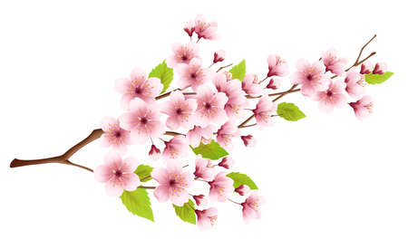 Branch of spring blossoming cherry isolated on white background. Realistic vector illustration