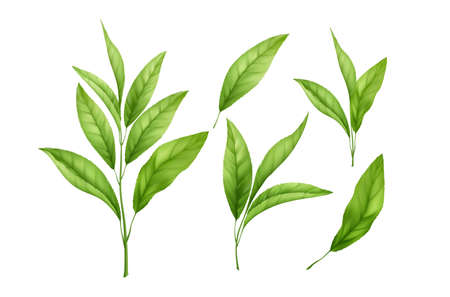 Set of realistic green tea leaves and sprouts isolated on white background. Sprig of green tea, tea leaf. Vector illustration 向量圖像