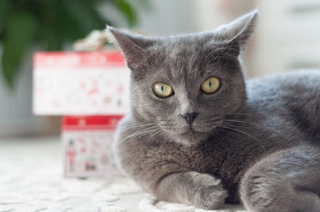 Beautiful gray British cat is lying on the floor on a background of gifts. The concept of pets.