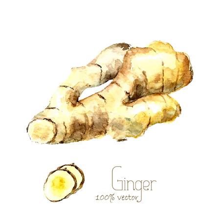 Aquarel gemberwortel. De hand trekt gember illustratie. Specerijen vector object op een witte achtergrond. Keuken kruiden en specerijen banner.