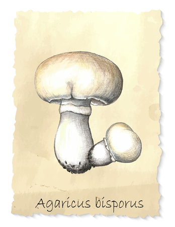 Agaricus mushrooms. Hand drawn pencil painting on vintage background. Vector illustration