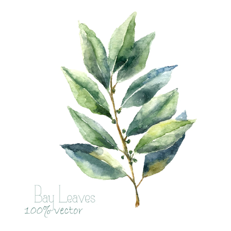 the bay: Watercolor bay leaf. Hand draw bay leaves illustration. Herbs vector object isolated on white background. Kitchen herbs and spices banner.