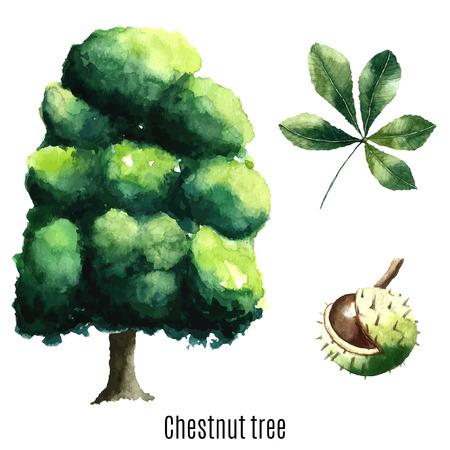 chestnut tree: Chestnut tree watercolor. Vector illustration.
