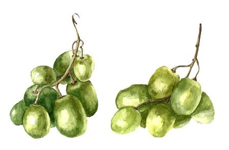 수채화 녹색 포도. 벡터.