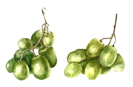 grapes on vine: Watercolor green grape. Vector. Illustration