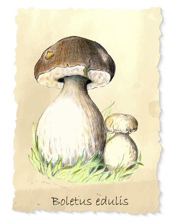 wooden cut: White mushrooms. Hand drawn pencil painting on vintage background. Vector illustration
