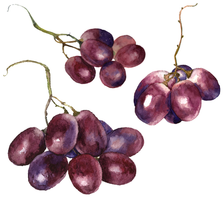 red grape: Set of watercolor grape. Vector. Illustration