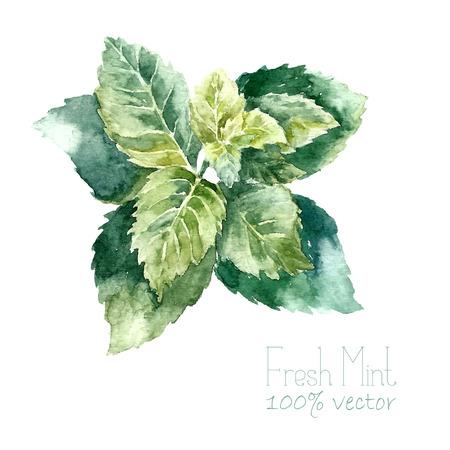 Acquerello menta. Tiraggio della mano menta illustrazione. Oggetto Erbe illustrazione isolato su sfondo bianco. Cucina erbe e spezie banner.