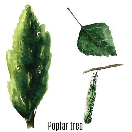 arbol alamo: Acuarela del árbol de álamo. Ilustración del vector.