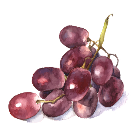 red grape: Set of watercolor grape. Vector. Stock Photo