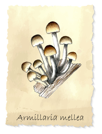 wooden cut: Armillaria mushrooms. Hand drawn pencil painting on vintage background. Vector illustration Stock Photo