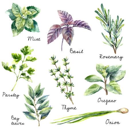 민트, 바질, 로즈마리, 파슬리, 오레가노, 타임, 베이 잎, 파 : 신선한 고립 된 허브의 수채화 모음. 손으로 그리는 그림.