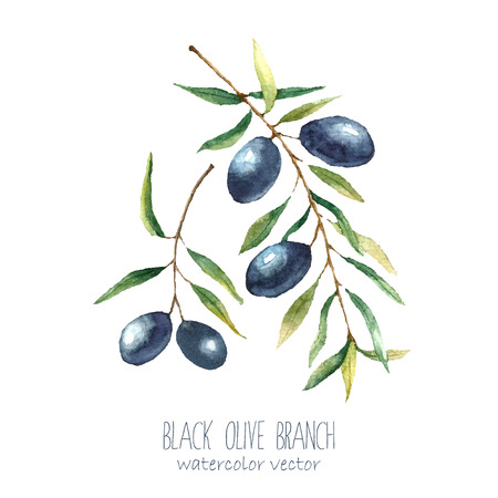 italy culture: Watercolor black olive branch on white background . Hand drawn isolated natural vector object with place for text. Healthy and natural card design