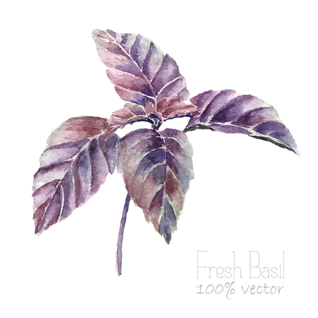 herbes: Watercolor basil leaves. Hand draw basil illustration. Herbs vector object isolated on white background. Kitchen herbs and spices banner.