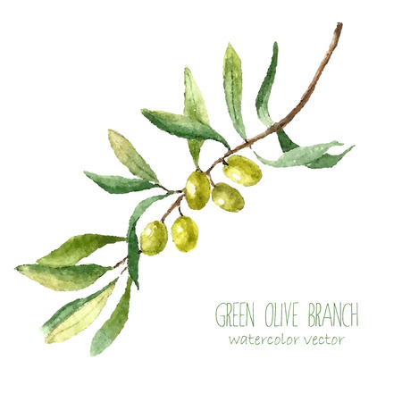 Acuarela rama de olivo verde sobre fondo blanco. Dibujado a mano aislado objeto vector natural con el lugar de texto. diseño de la tarjeta sana y natural Vectores