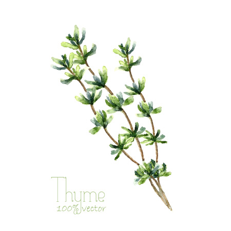 potherb: Watercolor thyme. Hand draw branches of thyme illustration. Herbs vector object isolated on white background. Kitchen herbs and spices banner.