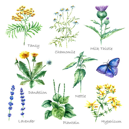 Hand drawn watercolor botanical illustration. Medical herbs drawing isolated on the white background. Medical herbs illustration, herbarium.vector Stock Vector - 58945392