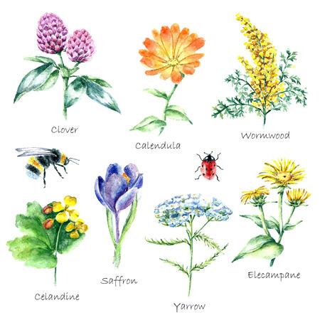 dibujado a mano de acuarela ilustración botánica. Plantas medicinales dibujo aislado en el fondo blanco. Plantas medicinales ilustración, herbarium.vector