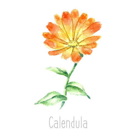 curative: Hand drawn watercolor botanical illustration of the calendula plant. Calendula drawing isolated on the white background. Medical herbs illustration, herbarium.vector