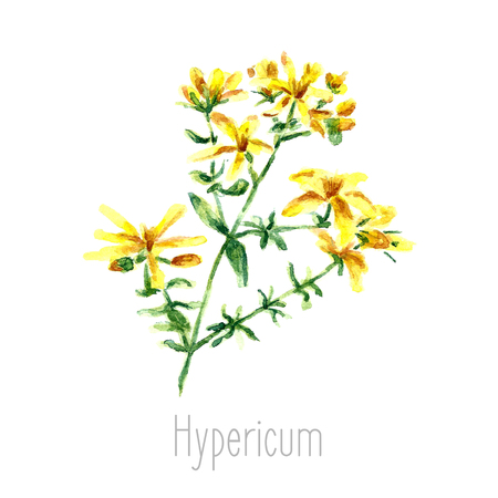 oriental medicine: Hand drawn watercolor botanical illustration of the hypericum plant. Hypericum drawing isolated on the white background. Medical herbs illustration, herbarium.vector