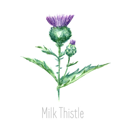 Hand drawn watercolor botanical illustration of the milk thistle plant. Milk thistle drawing isolated on the white background. Medical herbs illustration, herbarium.vector