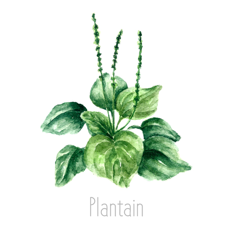 curative: Hand drawn watercolor botanical illustration of the plantain plant. Plantain drawing isolated on the white background. Medical herbs illustration, herbarium.vector Illustration