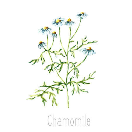 curative: Hand drawn watercolor botanical illustration of the chamomile plant. Chamomile drawing isolated on the white background. Medical herbs illustration, herbarium.vector