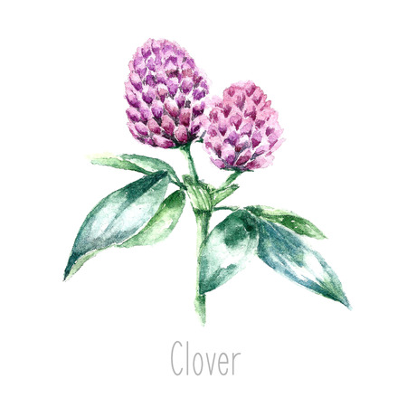 herb garden: Hand drawn watercolor botanical illustration of the clover plant. Clover drawing isolated on the white background. Medical herbs illustration, herbarium.vector Illustration