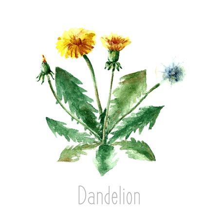 Main aquarelle dessinée illustration botanique de la plante de pissenlit. dessin de pissenlit isolé sur le fond blanc. Plantes médicinales illustration, herbarium.vector