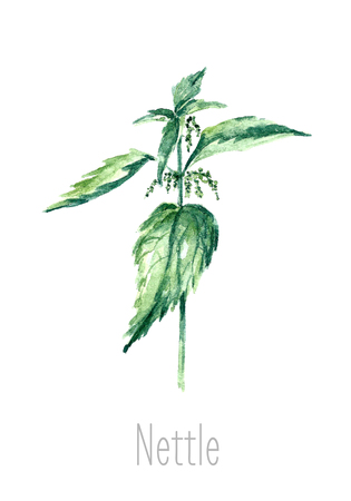 nettle: Hand drawn watercolor botanical illustration of the nettle plant. Nettle drawing isolated on the white background. Medical herbs illustration, herbarium.vector