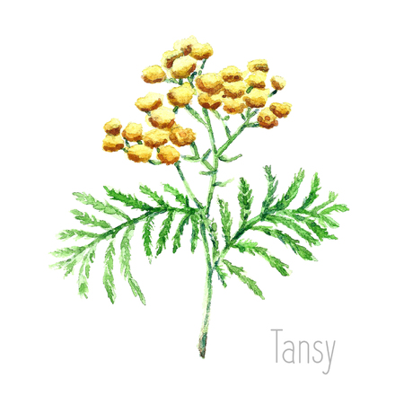 botanical illustration: Hand drawn watercolor botanical illustration of the tansy plant. Tansy drawing isolated on the white background. Medical herbs illustration, herbarium.vector