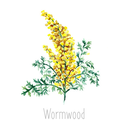 ajenjo: Dibujado a mano de acuarela ilustraci�n bot�nica de la planta del ajenjo. Ajenjo dibujo aislado en el fondo blanco. Plantas medicinales ilustraci�n, herbario. Vectores