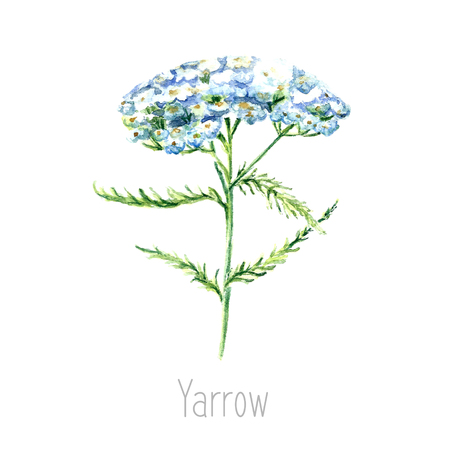 Hand drawn watercolor botanical illustration of the yarrow plant. Yarrow drawing isolated on the white background. Medical herbs illustration, herbarium.vector