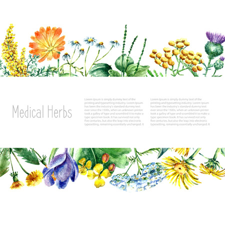 calendula: Hand drawn watercolor botanical illustration. Medical herbs drawing isolated on the white background. Medical herbs illustration, herbarium banner.vector