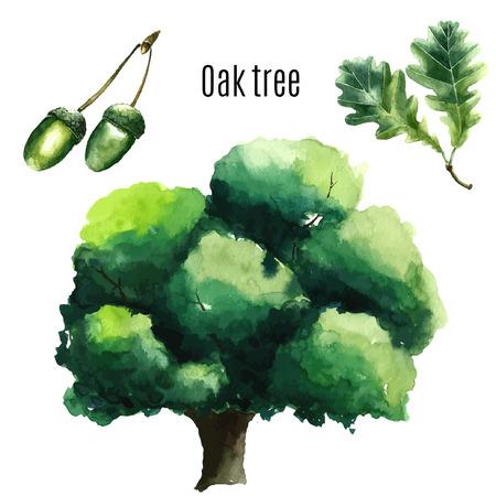 roble arbol: Acuarela del árbol de roble.