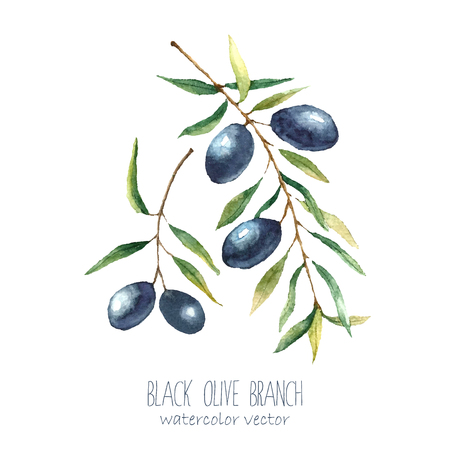black olive: Watercolor black olive branch on white background . Hand drawn isolated natural vector object with place for text. Healthy and natural card design