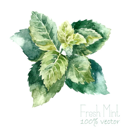 Watercolor mint. Hand draw mint illustration. Herbs vector object isolated on white background. Kitchen herbs and spices banner.