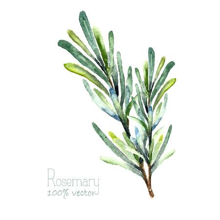 Romero acuarela. Drenaje de la mano de romero ilustración. Hierbas objeto vectorial aislados en fondo blanco. Cocina hierbas y especias bandera.