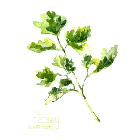 perejil: Acuarela rama de perejil. Drenaje de la mano ilustración perejil. Hierbas objeto vectorial aislados en fondo blanco. Cocina hierbas y especias bandera.