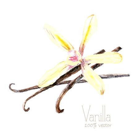 Aquarell Vanilleschoten und Blumen. Hand zeichnen Vanille-Illustration. Kräuter Vektorobjekt auf weißem Hintergrund. Küchenkräuter und Gewürze Banner.