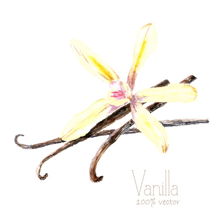 allspice: Watercolor vanilla pods and flower. Hand draw vanilla illustration. Herbs vector object isolated on white background. Kitchen herbs and spices banner.