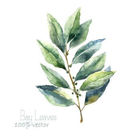 Acuarela hoja de laurel. Bahía de drenaje de la mano hojas ilustración. Hierbas objeto vectorial aislados en fondo blanco. Cocina hierbas y especias bandera.