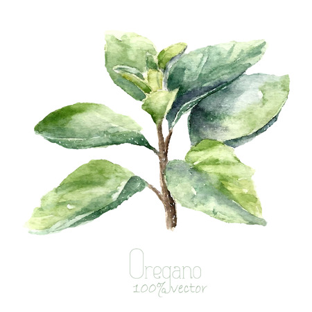 marjoram: Watercolor oregano. Hand draw oregano illustration. Herbs vector object isolated on white background. Kitchen herbs and spices banner.