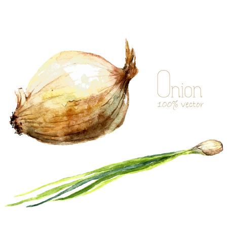 Watercolor onions. Hand draw white onion and scallions illustration. Herbs vector object isolated on white background. Kitchen herbs and spices banner. Ilustração