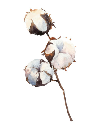 cotton crop: Watercolor Cotton Plant, isolated on white background.