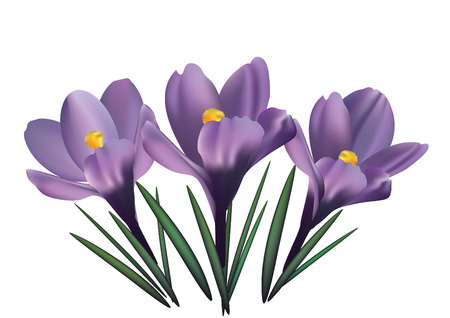 fragrant: Crocus flowers